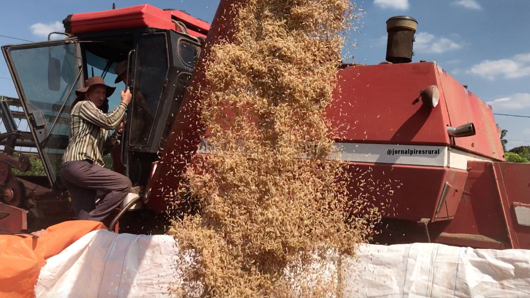 """A família Cheneviz semeou, """"de a meio"""", uma pequena quadra de arroz"""