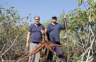 Embrapa desenvolve plantio experimental de mandioca em Limeira