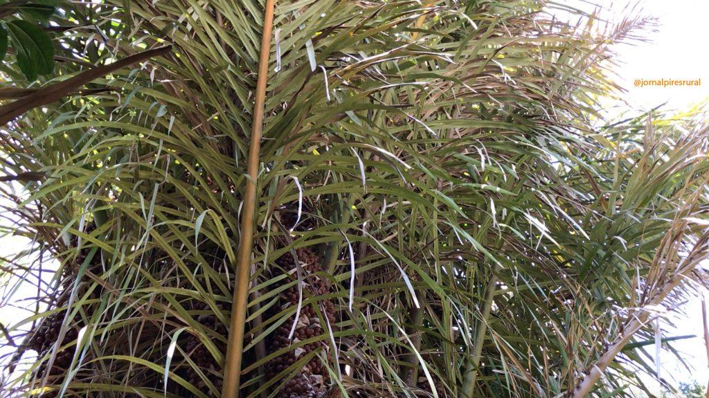 A palmeira ráfia foi uma das primeiras plantas usadas para fazer cordinha de ráfia