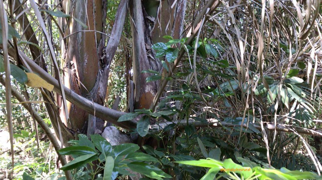 O caule é subterrâneo então, as folhas saem do solo e, dentro da terra permanece um grande tronco
