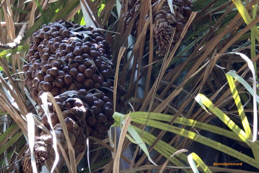 A história da palmeira ráfia em Limeira