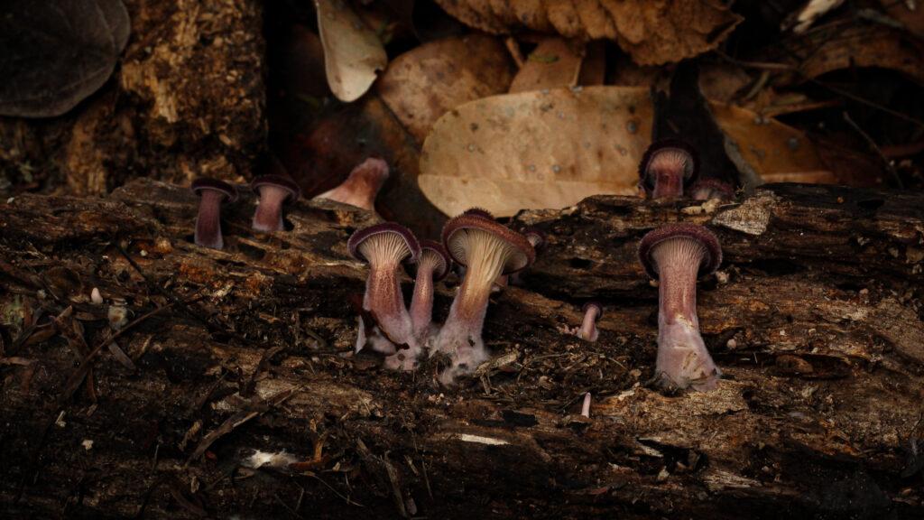 Cogumelo comestível Panus strigellus (foto:Denis Zabin)