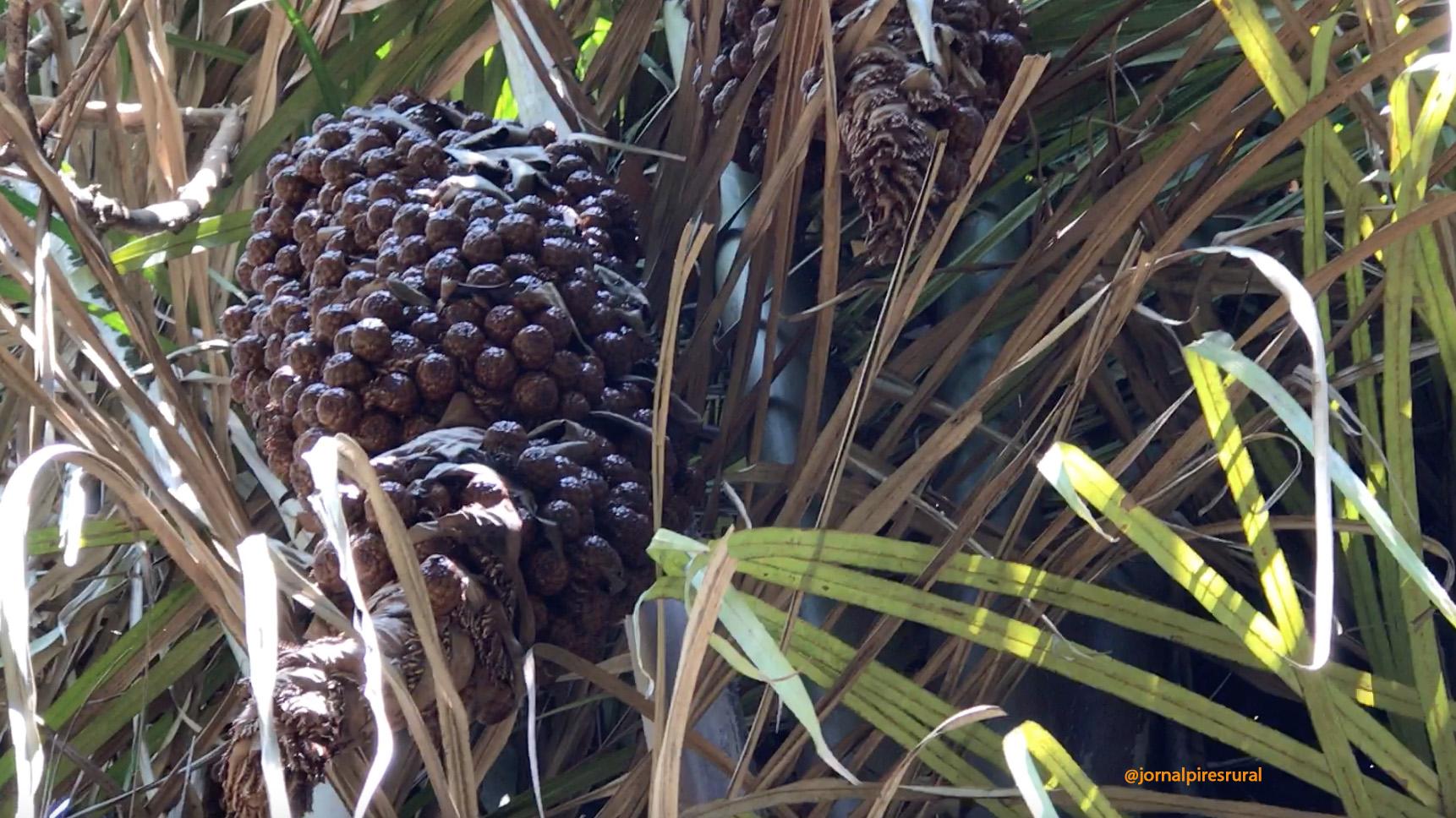 A palmeira começou a soltar os cachos